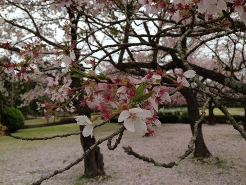 wakunaga-teien160410-05